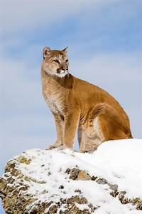 Mountain lions, bears, rattlesnakes, 'oh my!' Summer ...