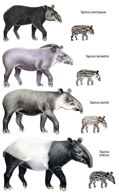 tapirs   world species