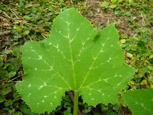 Pumpkin Leaf  U2014 Stock Photo  U00a9 Jinnanam  1901875