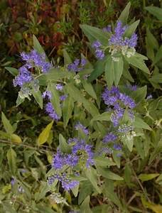 Blau Blühender Bodendecker : blau bl hende k belpflanze pflanzen f r nassen boden ~ Frokenaadalensverden.com Haus und Dekorationen