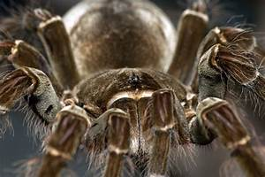 Goliath Bird Eating Spider – WeNeedFun