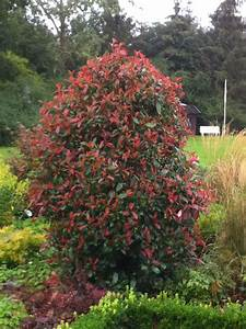 Photinia Red Robin : glanzmispel 39 red robin 39 ~ Michelbontemps.com Haus und Dekorationen