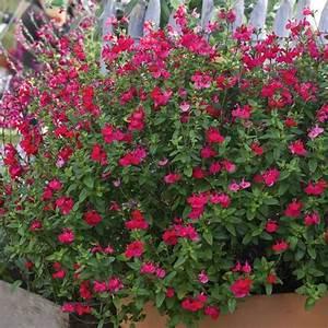 Arbuste Plein Soleil Longue Floraison : plantes couvre sol vivaces plein soleil ~ Premium-room.com Idées de Décoration