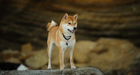 Shiba Inu Dog Everything You Need To Know About The Breed