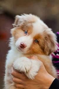 australian shepherd red merle puppy | Aussies! | Pinterest