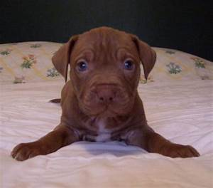 pitbull red nose blue | My Gallery