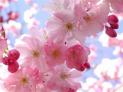 Flowers Cherry Blossom Pink Latest Fowers Blossoms