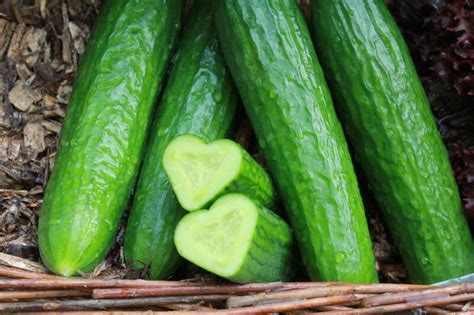 Salatgurken Anbauen Im Eigenen Garten by Kulturanleitung Gurken Salat Und Einlegegurken Richtig