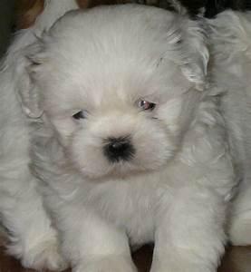 HD Animals: cute small white dog