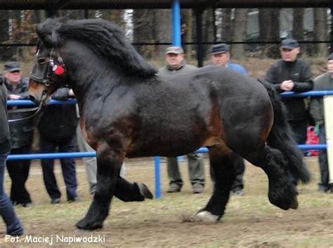 horses draft polish horse breeds cold blood coldblood mare riding stallion poland zimnokrwiste native animals american bull trait konie pretty