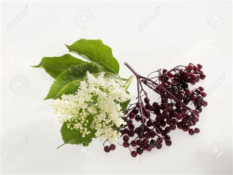 fior di sambuco il sambuco le caratteristiche della pianta e la ricetta