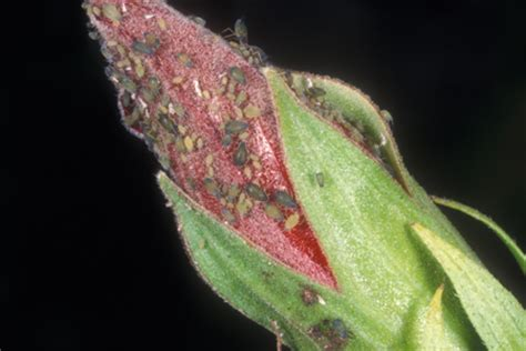 aphids facts information hulett pest control