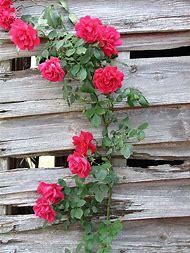 Winding Rose Bush