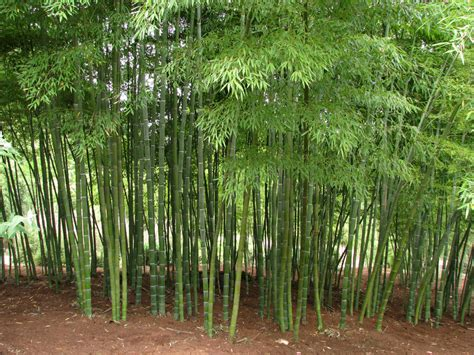 pictures of bamboo trees our bamboo garden
