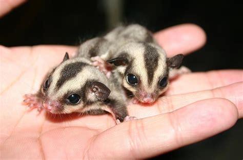 sugar glider baby animals of australia slapped ham
