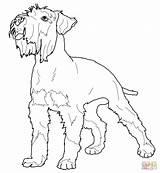 Schnauzer Coloring Miniature Pinscher Printable Miniatura Colorear Dog Sznaucer Pies Miniaturka Terrier Kostenlos Colorare Zwergschnauzer Dibujo Realistic Disegni Nano Kleurplaat sketch template