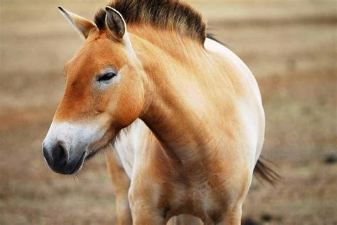 horse domestic przewalski compare horses przewalskis scientists whinnies squealing cave different