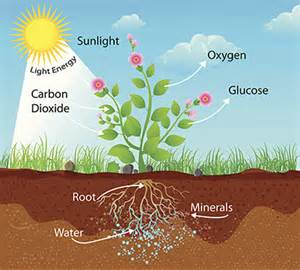 Plant Photosynthesis in Carbon
