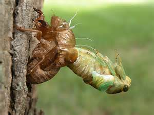 Cicada Shedding Its Exoskeleton by Cicada Molting Tibicen Tibicen Bugguide Net