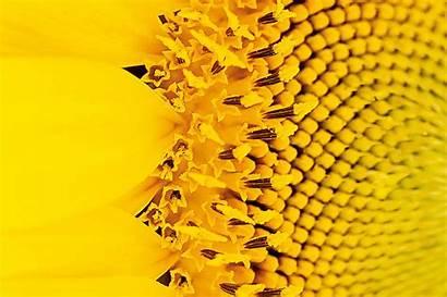 Sunflower Shoot Active Plant Source Biochemistry