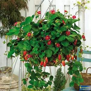 sauter grun erleben attraktive nasch erdbeeren With markise balkon mit obst tapete