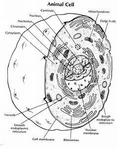 Animal Cell Diagram Worksheet