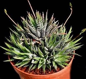 Sukkulenten Arten Bilder : sukkulenten als zimmerpflanzen sch ne deko f r das haus ~ Lizthompson.info Haus und Dekorationen