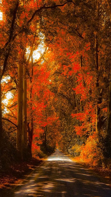 fall iphone wallpaper maple forest autumn wallpaper free iphone wallpapers