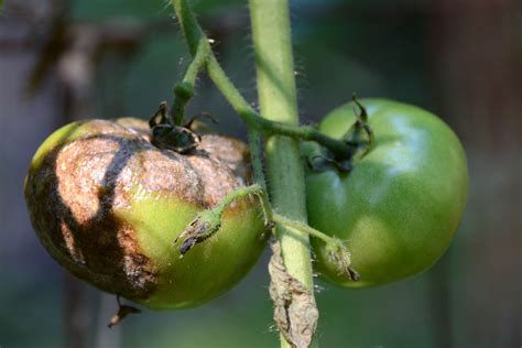 Tips For Growing Diseasefree Tomatoes  Pittsburgh Post