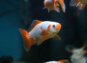 Tumblr Goldfish | www.pixshark.com - Images Galleries With ...