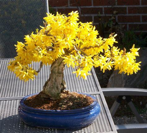 Mini Bäume Winterhart by Forsythie Garten Bonsai Pflanzen Bonsai Baum Und