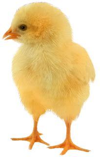 baby chickens png images  create picture top