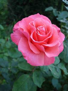 Single Pink Roses Elegant Most Beautiful Single Pink Rose ...