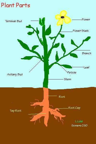 Plant Parts Flower Diagram