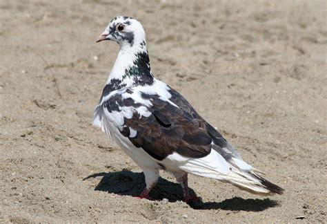 uf ifas computer help desk pigeons in california