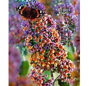 Free 10 Tri Color Butterfly Bush  Gardening Seeds