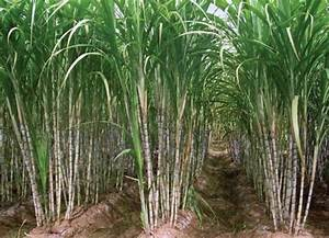 Sugarcane Cultivation Information Guide | Asia Farming
