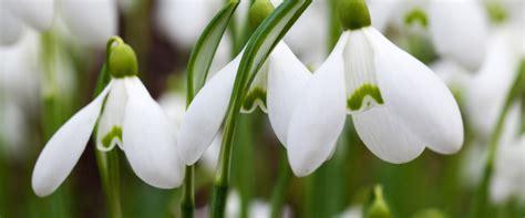 sognare fiori secchi il bucaneve magia dei fiori