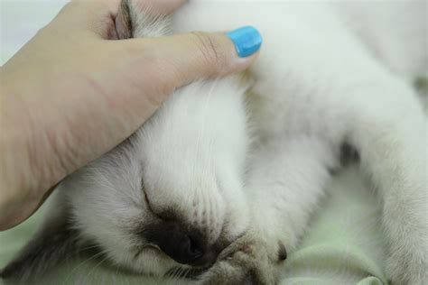 how to clean a s ears how to clean your cat s ears 11 steps wikihow