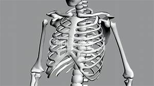 Rotation Of 3d Skeleton Ribs Chest Anatomy Human Medical