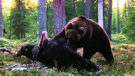 expeditionen ins tierreich finnland braunbaer hd youtube