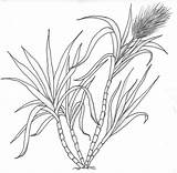 Cane Sugar Coloring Plant Sugarcane Template Sketch Pages Drawings Deviantart Colouring sketch template