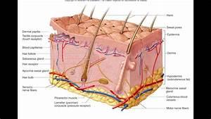 Diagram Of Sweat Gland