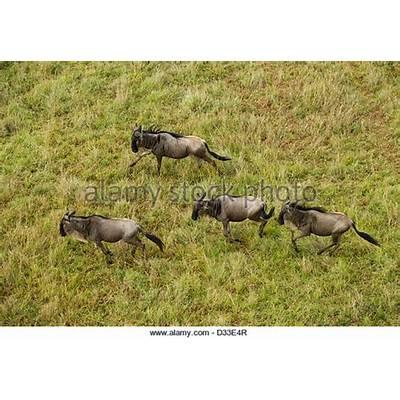 Wildebeest Migration Aerial Stock Photos &
