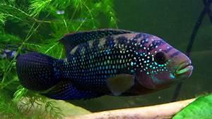 Cichlids; Cichlid Fish; Oreochromis niloticus; Tilapia ...