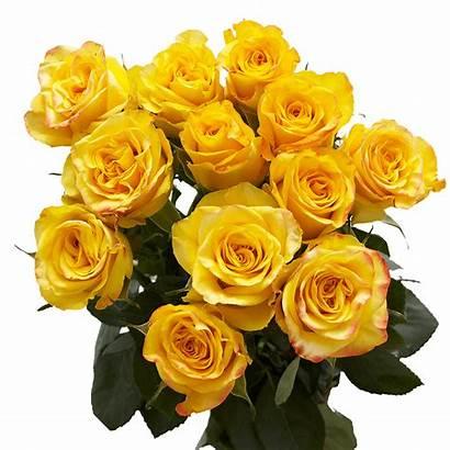 Roses Yellow Dozen Delivery Valentine Globalrose Send