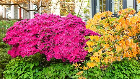 colorful bushes and shrubs 13 great shrubs for spring color