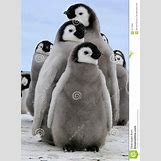 Real Penguins Pictures | 957 x 1300 jpeg 120kB