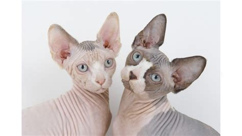 Sphynx Cats 101 Everything You Need To Know About The