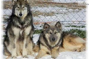 Wolamutes. Alaskan Malamute and timber wolf mix. | D'awwww ...